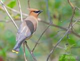 Cederpestvogel - Cedar Waxwing - Bombycilla cedrorum