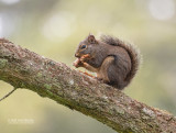 Douglas eekhoorn - Douglas squirrel - Tamiasciurus douglasi