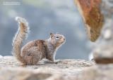 Californische grondeekhoorn - California ground squirrel - Otospermophilus beecheyi
