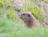 Mount-Olympusmarmot - Olympic marmot - Marmota olympus