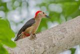 Goudvoorhoofdspecht - Golden-fronted Woodpecker - Melanerpes santacruzi dubius
