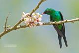 Cozumelsmaragdkolibrie - Cozumel Emerald - Chlorostilbon forficatus