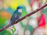 Grijsstaartjuweelkolibrie - Gray-tailed Mountain-gem - Lampornis cinereicauda