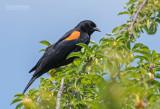 Epauletspreeuw - Red-winged Blackbird - Agelaius phoeniceus