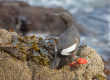 Duifzeekoet - Pigeon Guillemot - Cepphus columba eureka