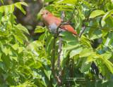 Eekhoornkoekoek - Squirrel Cuckoo - Piaya cayana thermophila
