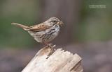 Zanggors - Song Sparrow - Melospiza melodia