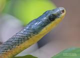Bird-eating Snake - Pseustes poecilonotus