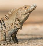Witzwarte grondleguaan - Black Spiny-tailed Iguana - Ctenosaura similis