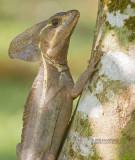 Gestreepte basilisk - Brown basilisk - Basiliscus vittatus