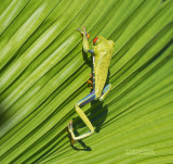 Roodoogmakikikker - Red-eyed Tree Frog - Agalychnis callidryas6.jpg