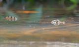 Brilkaaiman - Spectacled caiman - Caiman crocodilus