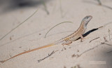 Madagaskarleguaan - Three-eyed lizard - Chalarodon Madagascariensis