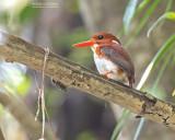 Madagaskardwergijsvogel - Madagascar Pygmy-Kingfisher - Corythornis madagascariensis madagascariensis
