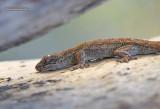 Sakalava Madagascan Velvet Gecko - Blaesodactylus sakalava