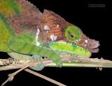O'Shaughnessy's kameleon - O'Shaughnessy's Chameleons - Calumma oshaughnessyi