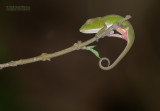 Perinetkameleon - Perinet Chameleon - Calumma gastrotaenia