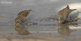 Boompieper - Tree Pipit - Roodbekwever - Red-billed Quelea