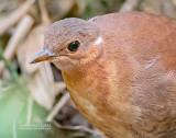 Bruine Steltral - Brown Mesite - Mesitornis unicolor