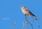 Madagaskartorenvalk - Madagascar Kestrel - Falco newtoni