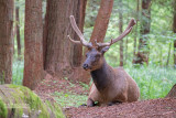 Roosevelt Wapiti - Roosevelt Elk - Cervus canadensis roosevelti