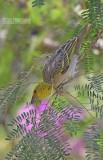 Grote textorwever - Village Weaver - Ploceus cucullatus