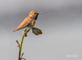 Rosse Kolibrie - Rufous Hummingbird - Selasphorus rufus