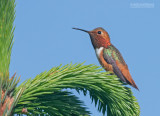 Allens Kolibrie - Allen's Hummingbird - Selasphorus sasin sasin