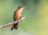 Kaneelkleurige amazilia - Cinnamon Hummingbird - Amazilia rutila corallirostris