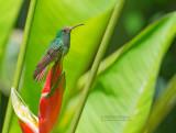 Roodstaartkolibrie - Roufous-tailed Hummingbird - Amazilia tzacatl