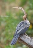 Afrikaanse Slanghalsvogel - African Darter - Anhinga rufa