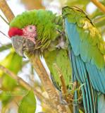 Soldaten Ara - Military macaw - Ara militaris