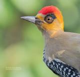 Goudwangspecht - Golden-cheeked Woodpeckers - Melanerpes chrysogenys