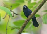 Blauwrugbisschop - Blue-black Grosbeak - Cyanoloxia cyanoides caerulescens