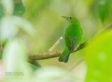 Groene suikervogel - Green Honeycreeper - Chlorophanes spiza