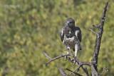 Vechtarend - Martial Eagle - Polemaetus bellicosus