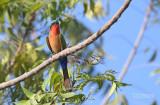 Roodkeelbijeneter - Red-throated Bee-eater - Merops bulocki