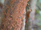 Ivoorsnavelmuisspecht - Ivory-billed Woodcreeper - Xiphorhynchus flavigaster yucatanensis
