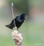 Driekleurtroepiaal - Tricolored Blackbird - Agelaius tricolor