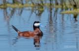 Rosse stekelstaart - Ruddy duck - Oxyura jamaicensis