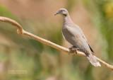 Witvleugeltreurduif - White-winged Dove - Zenaida asiatica australis