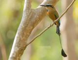 Wenkbrauwmotmot - Turquoise-browed Motmot - Eumomota superciliosa australis