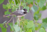Amerikaanse Matkop - Black-capped Chickadee - Poecile atricapillus
