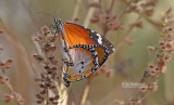 Kleine monarchvlinder - Plain tiger - Panaus chrysippus