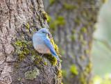 Bergsialia - Mountain Bluebird - Sialia currucoides