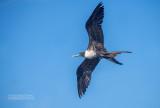 Amerikaanse Fregatvogel - Magnificent Frigatebird - Fregata magnificens