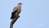 Palmgier - Palm-nut vulture - Gypohierax angolensis