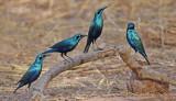Groenstaartglansspreeuw - Greater Blue-eared Starling - Lamprotornis chalybaeus