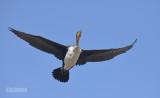 Witborst aalscholver - Whitebreasted cormorant - Phalacrocorax lucidus