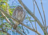 Colimadwerguil - Colima pygmy owl - Glaucidium palmarum oberholseri